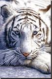 Biały tygrys Płótno naciągnięte na blejtram - reprodukcja