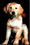 Golden Retriever with Red Rose Art Print Poster Stretched Canvas Print