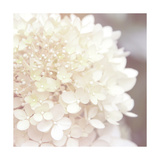 Hydrangea Dream I Posters by Laura Marshall