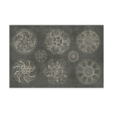 Rosette IX Gray Prints by Wild Apple Portfolio