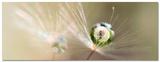 Star of Dandelion Affischer av Bertrand Kulik