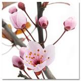 Springing Sakura Poster