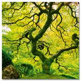 Japanese Marple Tree Poster