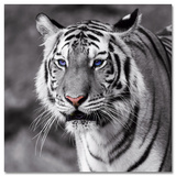 Tiger With Blue Eyes Plakater