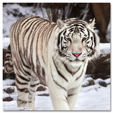 Snow White Tiger - Sanat