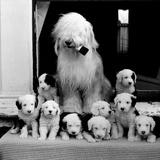 Sheep Dog and Pups Poster