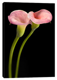 Pink Calla Lilies Stretched Canvas Print by Barry Seidman