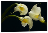 Three Calla Lillies Stretched Canvas Print by Barry Seidman