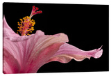 Hibisucs 1 Stretched Canvas Print by Barry Seidman