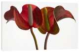Anthurium on White Stretched Canvas Print by Barry Seidman