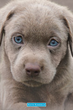 Keith Kimberlin- Blue Eyed Puppy Poster von Keith Kimberlin