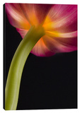 Glowing Tulip Stretched Canvas Print by Barry Seidman