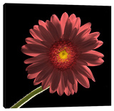 Gerber Daisy 1 Stretched Canvas Print by Barry Seidman