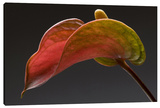 Anthurium 3 Stretched Canvas Print by Barry Seidman