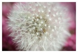 Dandelion on a rose Print by Nick Jackson
