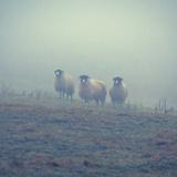 David Bracher - Sheep in a Field in Winter - Fotografik Baskı