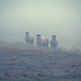 Sheep in a Field in Winter Photographic Print by David Bracher