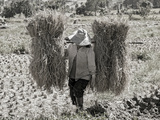A Woman Carries Two Budles of Straw Through a Field in Thailand Photographic Print by Steven Boone