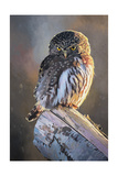 Northern Pygmy Owl Print by Max Hayslette