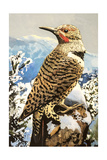 Northern Flicker Prints by Max Hayslette