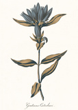 Gentiana Catesbaci - Golden Posters by A. Poiteau