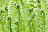 Spring Ferns Photo by  PhotoDF