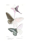 Lepidopteres 2, Emile Blanchard Posters by  Porter Design