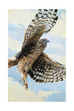 Northern Harrier Prints by Max Hayslette