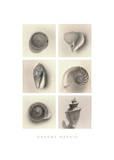 Shell Composition Giclee Print by Graeme Harris