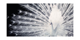 Courtship Giclee Print by Tim Flach