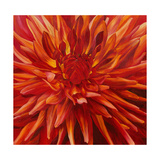 Fabulous Orange Dahlia Giclee Print by Sarah Caswell