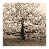 Apple Tree in Bloom Posters by Christine Triebert