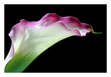 Calla Lily Posters by Amalia Elena Veralli