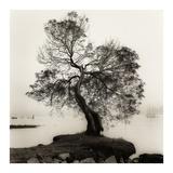 Coast Oak Tree Reprodukcje autor Alan Blaustein