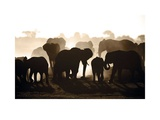 Elephant Herd Prints by Theo Allofs