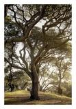 Oak Tree 69 Prints by Alan Blaustein