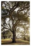 Alan Blaustein - Oak Tree #69 Umění