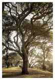 Oak Tree 69 Poster by Alan Blaustein
