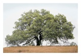 Oak Tree 72 Posters by Alan Blaustein