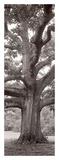 Hampton Field Tree 2 Posters by Alan Blaustein