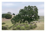 Oak Tree 108 Prints by Alan Blaustein