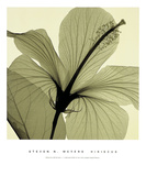 Hibiscus Prints by Steven N. Meyers