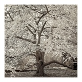 Hampton Magnolia 2 Prints by Alan Blaustein