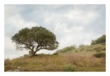 Oak Tree 75 Prints by Alan Blaustein