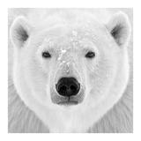 Polar Bear Poster by  PhotoINC Studio