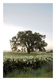 Oak Tree 84 Posters by Alan Blaustein