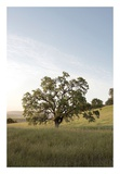 Oak Tree 87 Posters by Alan Blaustein