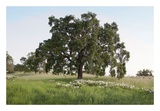 Oak Tree 93 Prints by Alan Blaustein