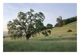 Oak Tree 86 Posters by Alan Blaustein