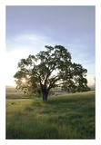 Oak Tree 95 Prints by Alan Blaustein